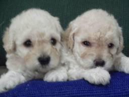 Filhotes de poodle toy pra vc macho e fêmea
