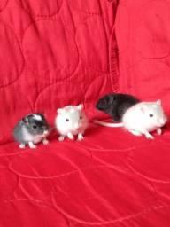 Filhotes de gerbil/ esquilo da mongólia