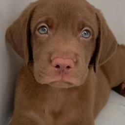 Labrador Legítimo