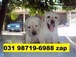 Caes Filhotes Belos BH Labrador Boxer Golden Pastor Rottweiler Akita