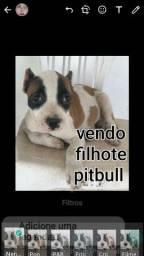 pitbull american bully