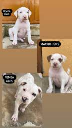 Cachorro pit bull red nose
