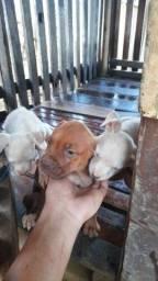 Filhotes de cachorro Box!