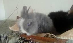 Mini coelho/coelho anão Teddy Dwerg