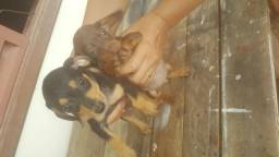 Basset, Filhotes com 2 meses