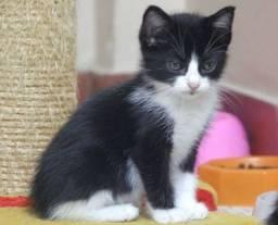 Estou doando filhotes de gato siameses