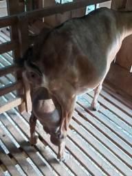 Vende-se cabritas leiteiras e filhote de cabrita
