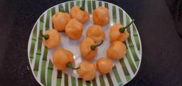 Pimentas Scotch bonnet
