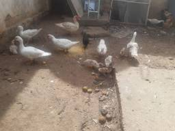 Pato , pata , galinhas, garnizé, poucas unidades.
