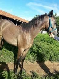 Podro puro com registro os animais então em Canindé Ceará
