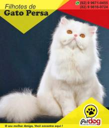 Temos Lindos filhotes de Gato Persa Whats (82) 9 9671-0455 Pet Dog