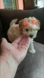 Poodle miniatura aceito cartão