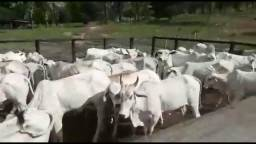 Vacas paridas e solteiras