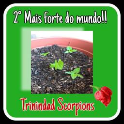 Mudas de Trinindad Scorpions (pimenta nuclear)