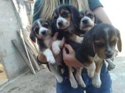 Título do anúncio: Filhotes de beagle