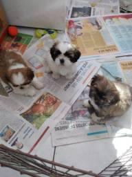 Bebês de shitzu