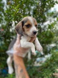 Beagle a raça mais adquirida e linda
