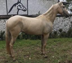 Cavalo extraordinário de marcha picada