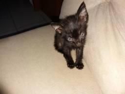 Doação de gatinho preto (macho)