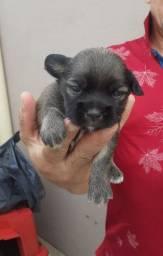 Vendo filhotes de cachorro lhasa apso
