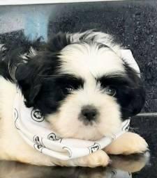 Shitzu puro (pedigree Opcional) pandinha