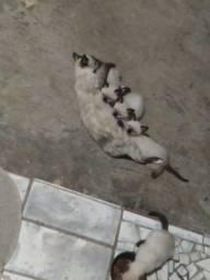 Gato siamês para adoção