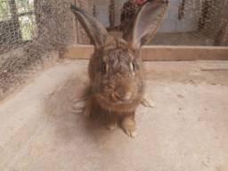 Dois coelhos disponível