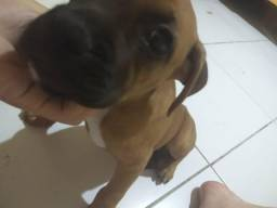 Cachorra fêmea boxer