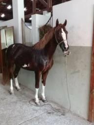 Vendo Cavalo Mangalarga Paulista 3,5 anos de idade