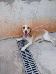 Beagle com Pedigree