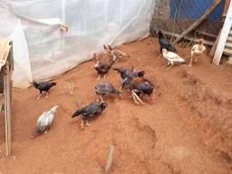 Vendas de galinhas indias
