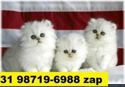 Gatil em BH Maravilhosos Filhotes de Gatos Persa Siamês ou Angora