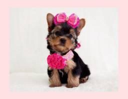 Apaixonante filhote de yorkshire mini fêmea, venha conferir no Namu Royal! #fotos reais#