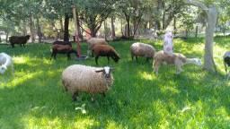 vendo ovelha sifón con Santa INEZ