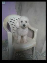 Poodle Macho N°1