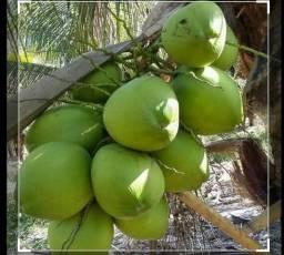 Coco verde 80 centavos