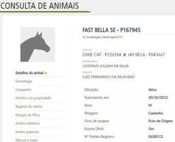 Cavalo QM registrado PO