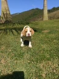 Título do anúncio: Beagle bicolor @canilcanaa