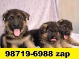 Cães Filhotes Diversas Raças BH Pastor Labrador Rottweiler Dálmata Golden Akita Boxer