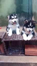 Vende se filhote de husky siberiano 2 fêmea e 1 macho filhotes top demais