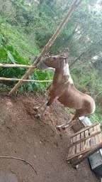 Cavalo pampo de marcha picada