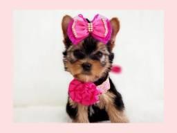 Filhote maravilhosa de yorkshire mini fêmea no Namu Royal! Fotos originais!!