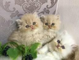 Filhotes Persa