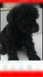 Filhote de poodle n1 4 meses ja vermifugado faço entrega
