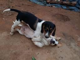 Filhotes beagle com americana