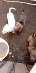 Filhotes de labrador puro