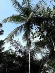 Palmeira Açaí Jussara (muda)