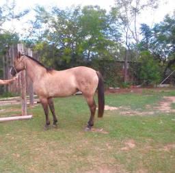 Vendo Égua Lobuna registrada e confirmada