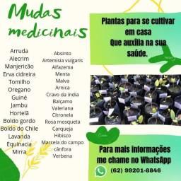 Mudas de ervas medicinais