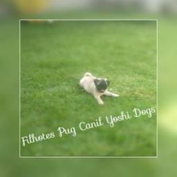 Macho e femea de pug super promocao Yoshi Dogs Canil